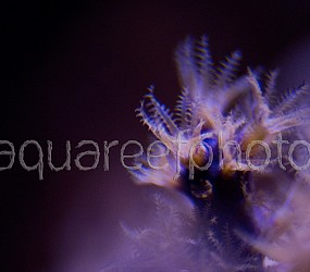 Muriceopsis flavida 01