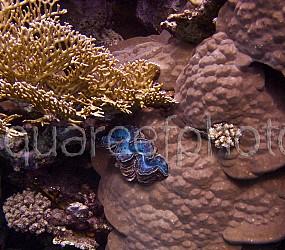 Tridacna maxima & Porites 01