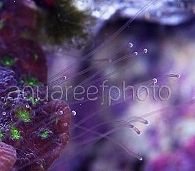 Echinopora lamellosa 01