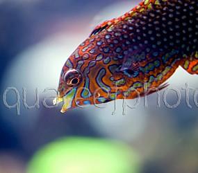 Macropharyngodon ornatus 01