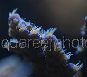 Acropora tenuis 02
