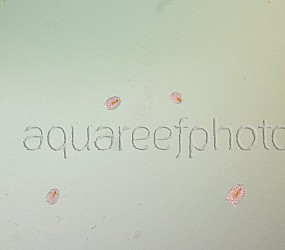 Copepodes 03