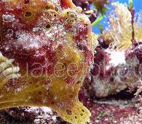 Antennarius multiocellatus 01