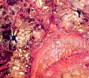 Antennarius striatus 02
