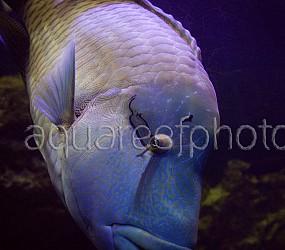 Cheilinus undulatus 01