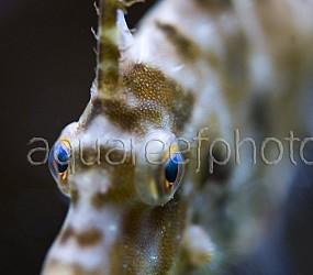 Acreichthys tomentosus 01