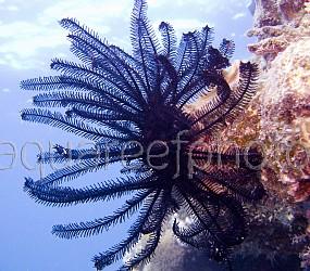 Comanthina nobilis 01