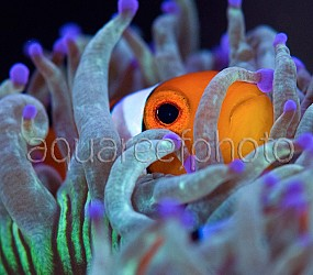 Amphiprion ocellaris 05