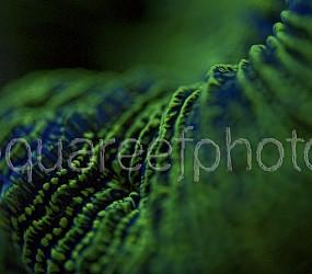 Trachyphyllia geoffroyi 03