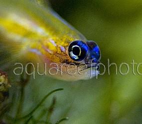 Coryphopterus lipernes 01