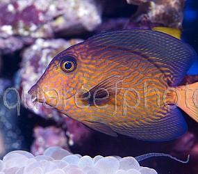Ctenochaetus hawaiiensis 02