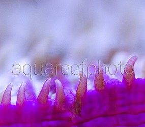 Fungia spinifer 04