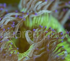 Catalaphyllia jardinei 06