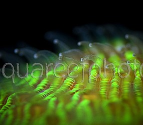 Fungia repanda 01