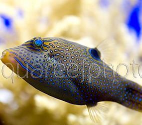 Canthigaster solandri 02