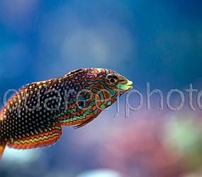 Macropharyngodon ornatus 02
