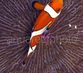 Amphiprion ocellaris 06