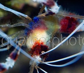 Stenopus hispidus 02