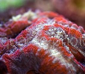 Acanthastrea lordhowensis 08