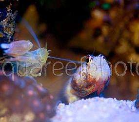 Amblyeleotris guttata 09