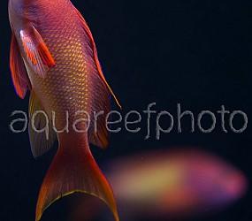 Pseudanthias squamipinnis 03