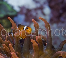 Amphiprion ocellaris & E. quadricolor