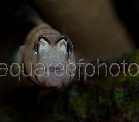 Amblyeleotris guttata 08