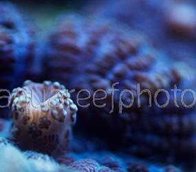 Rhodactis inchoata 01