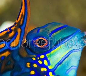 Synchiropus splendidus 05