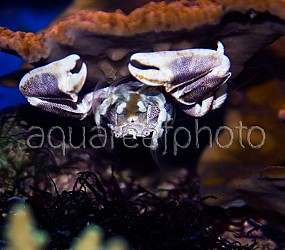 Neopetrolisthes maculatus 05