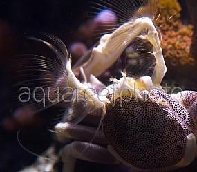 Neopetrolisthes maculatus 02