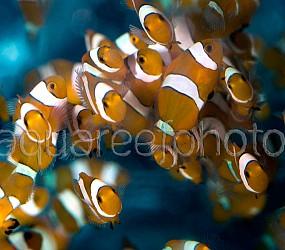 Amphiprion ocellaris batch 01