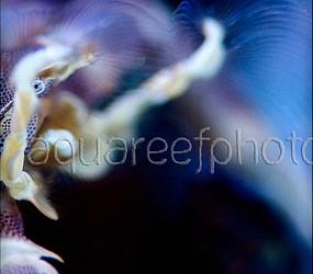 Neopetrolisthes maculatus 07