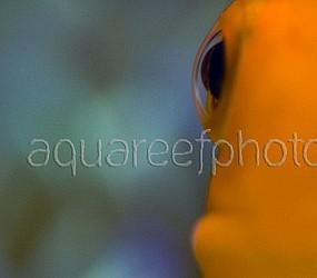 Amphiprion ocellaris 07