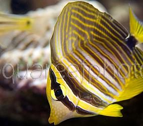 Zebrasoma desjardinii 05