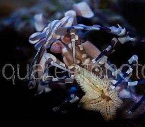 Hymenocera elegans 01