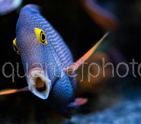 Ctenochaetus strigosus 04