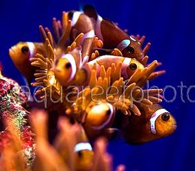 Amphiprion ocellaris batch 02