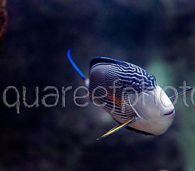 Acanthurus sohal 01