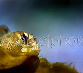 Lipophys pholis 01