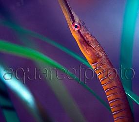 Syngnathus acus 01