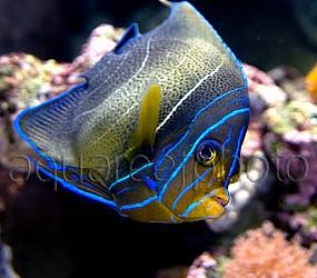 Pomacanthus semicirculatus 01