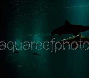 Shark aquarium 01