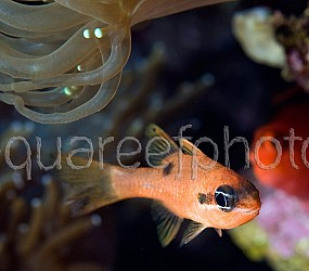 Apogon maculatus 01