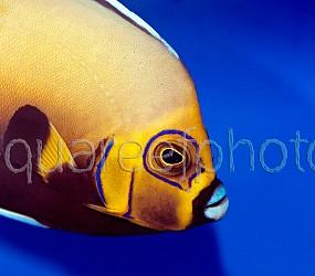 Chaetodontoplus conspicillatus 02