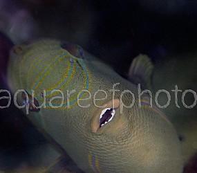 Melichthys indicus 01