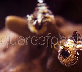 Spirobranchus giganteus 02