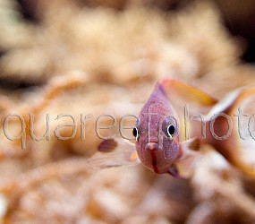 Pseudanthias squamipinnis 11