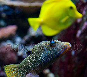 Canthigaster solandri 03