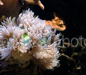 Catalaphyllia jardinei 04